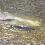 Spawning Coho Salmon in Bessette Creek